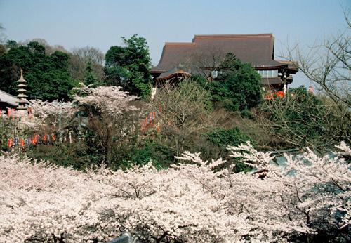 開山堂から見る桜